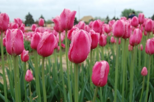 LIVING SUCCESS 3D--TULIPS